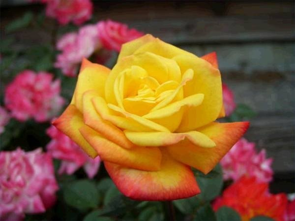 The Meaning of Different Colored Roses (with Pictures) | eHow