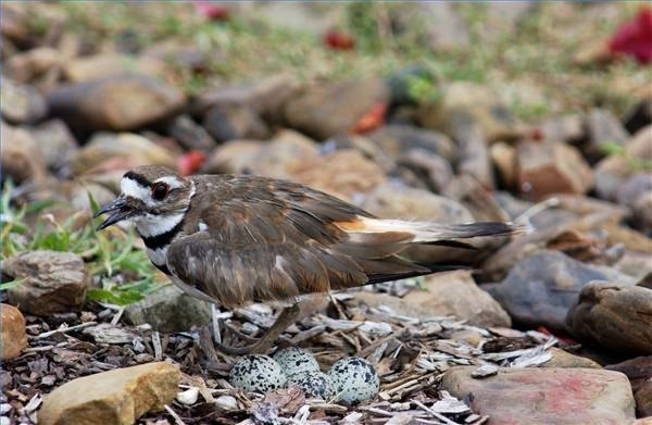 A mother killdeer guards her eggs.