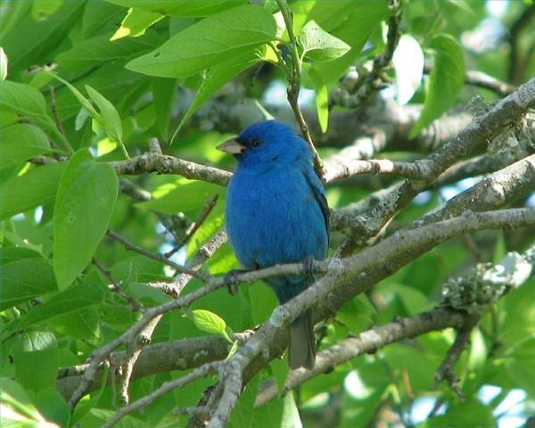 An indigo bunting perches in a tree.