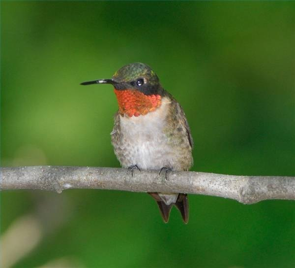 A ruby-throated hummingbird sits on a branch.