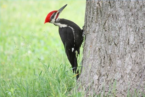 Pileated woodpeckers are common to forests.