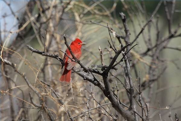 A male summer tanager.