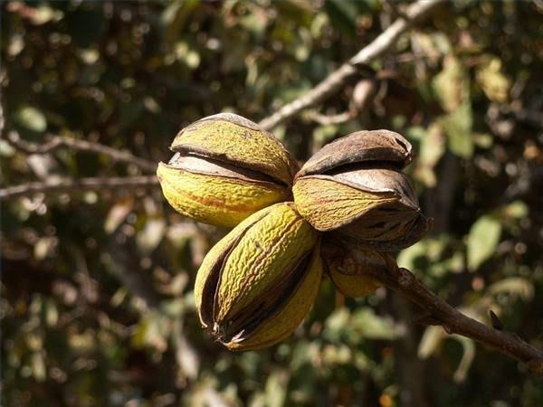 Why Do Pecans Rot in the Shells While on the Tree?