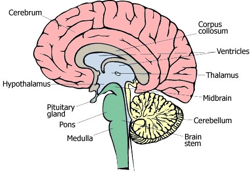 what the different parts of the brain do? | ehow, Human Body