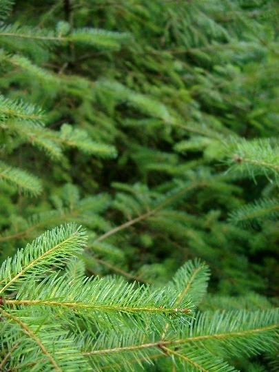Fir needles conduct photosynthesis year-round.