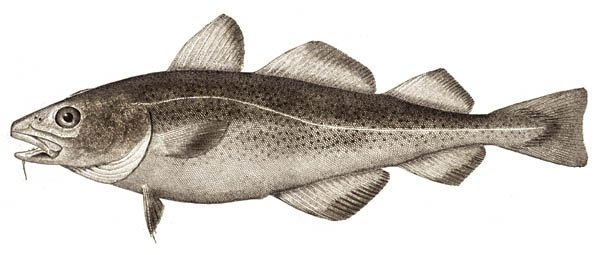 Types of Codfish