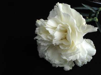 A white carnation, perfect for experimenting with food coloring