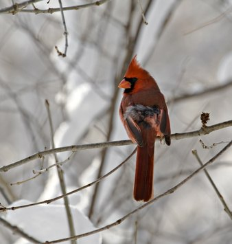 The cardinal was a popular pet until caging it was made illegal.