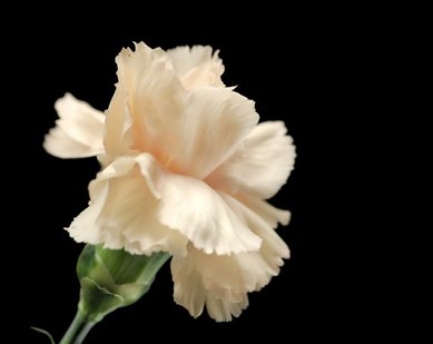 The simple white carnation has positive meanings.