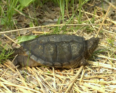 The common snapping turtle can weigh up to 25 pounds and live as long as 50 years.