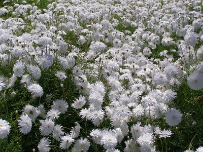 A field of blooming white carnations.
