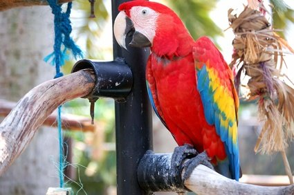 The scarlet macaw is caught in the illegal pet trade.