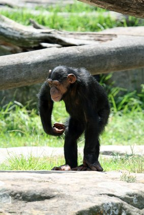 An adult male chimpanzee may be many times as strong as an average human.