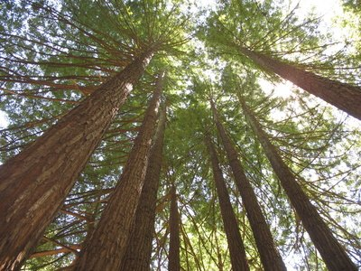The Sequoia is among the tallest species of tree.