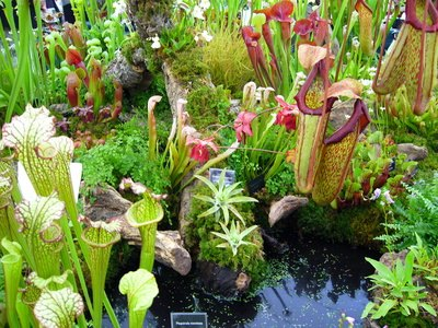 These pitcher plants can trap insect prey.