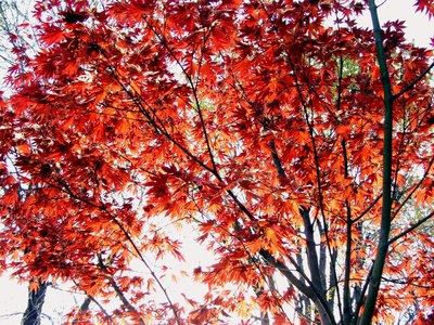 The Crimson King maple is a variety of the Norway maple tree