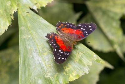 A Scarlet Peacock butterfly lands on a green leaf.