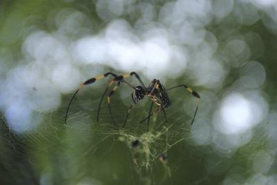 Female spiders lay eggs into their webs.