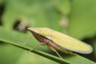 A close-up of a leafhopper on a green leaf.