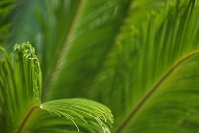 The stiff, leathery leaf of a cycad resembles the frond of a palm or fern.