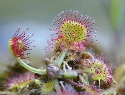 common sundew.
