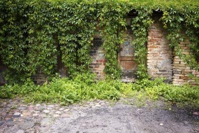 Ivy growing on a building