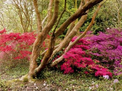 Azaleas in the United Kingdom