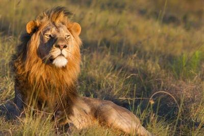 Lions live in nature preserves in Africa.