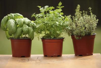 Most of the basic cooking herbs are safe -- or even beneficial -- for dogs.
