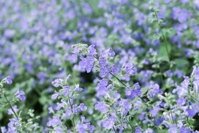 field of catmint flowers