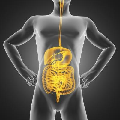 A rendering of the digestive system