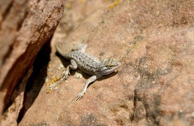 the earless lizard has no external ear openings