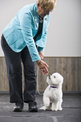 Training a Bichon-Yorkie is similar to training either a Bichon or a Yorkie.