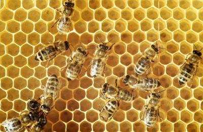 Bees are more mild-mannered than social wasps.