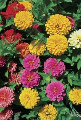 Zinnias' vivid colors attract wildlife.