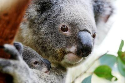 mother koala holding joey