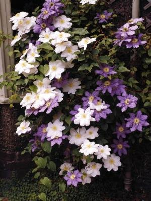 Clematis growing on an arbor is beautiful in bloom.