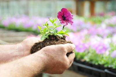 A person replanting a petunia flower.