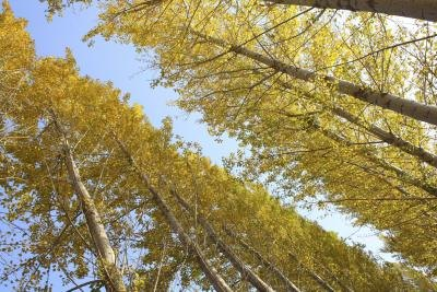 A view from the ground up at aspen trees on an autumn day.