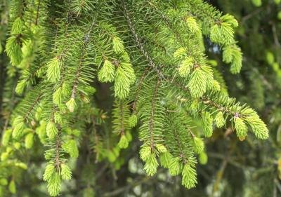 Cones on fir trees are erect and have scales that fall off in autumn.