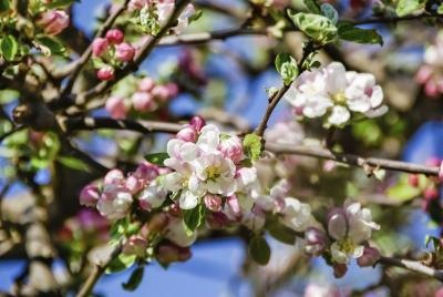 A close-up of apple tree branches with blossoms.