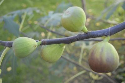 Figs ripen in late summer and early fall, and sometimes in early spring.