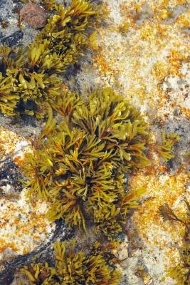 Seaweed is a member of the Protista kingdom.