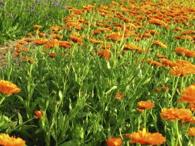 A field of African marigolds