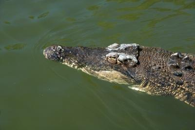 crocodile swimming at surface of water
