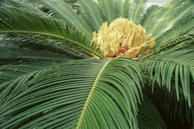 Close up of a sago palm