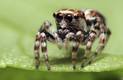 Jumping spiders tend to live outdoors.