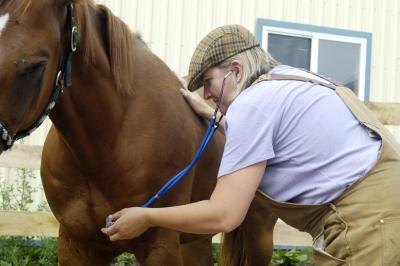 Veterinarian listening to horse