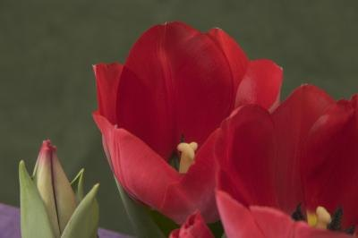 what do tulip colors mean with pictures ehow. Black Bedroom Furniture Sets. Home Design Ideas