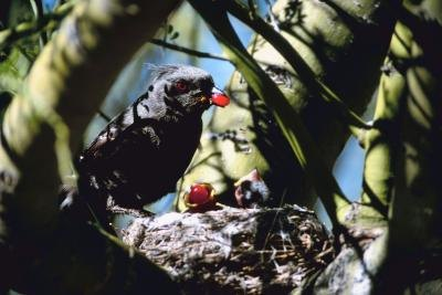 A bird feeds berries to its chicks in a pine tree.